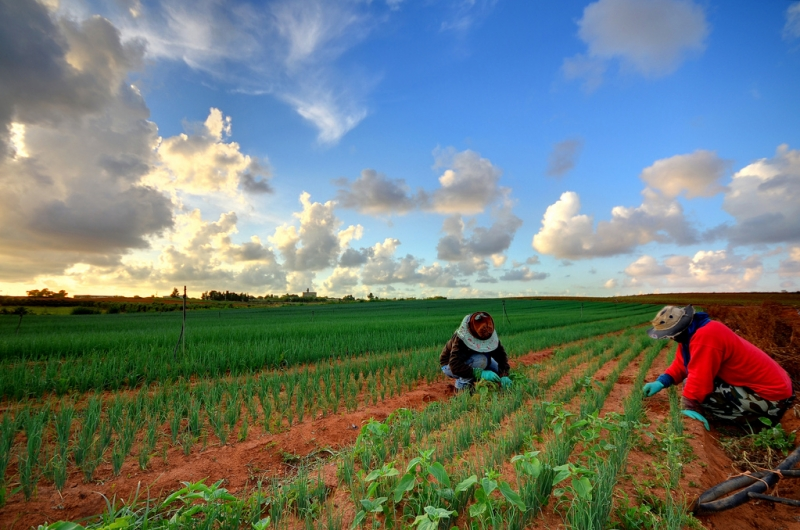 Thai agricultural workers in the Gaza envelope are torn between their desire to make a living and their desire to live