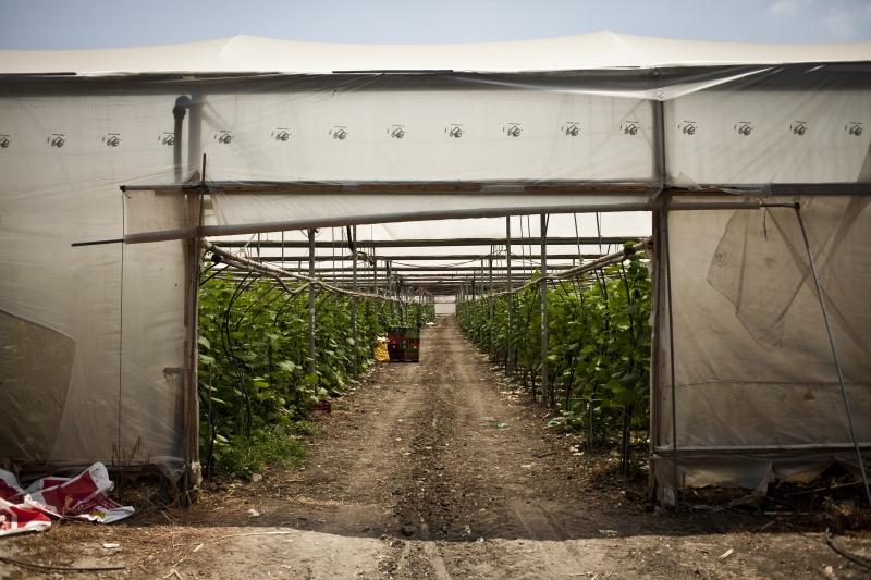 המבקר מצא אפליה בוטה בבטיחות בין פועלי חקלאות ישראלים וזרים – כתבת הארץ